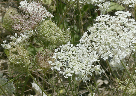 queen-annes-lace.jpg